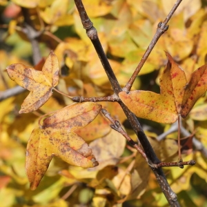 Photographie n°276145 du taxon Acer monspessulanum L. [1753]
