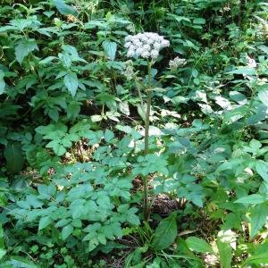 Photographie n°276281 du taxon Angelica sylvestris subsp. sylvestris