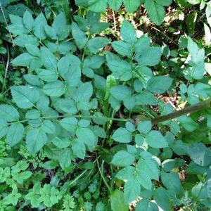 Photographie n°276282 du taxon Angelica sylvestris subsp. sylvestris