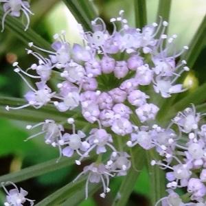 Photographie n°276284 du taxon Angelica sylvestris subsp. sylvestris
