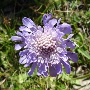 Photographie n°276506 du taxon Scabiosa cinerea Lapeyr. ex Lam. [1792]