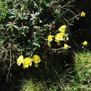 Photographie n°276509 du taxon Helianthemum nummularium var. grandiflorum (Scop.) B.Bock
