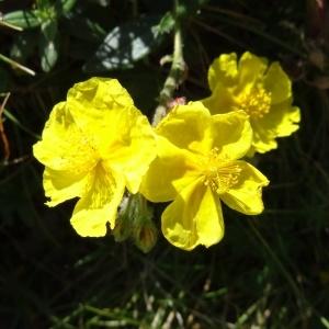 Photographie n°276510 du taxon Helianthemum nummularium var. grandiflorum (Scop.) B.Bock
