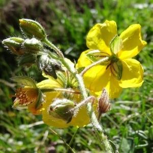 Photographie n°276511 du taxon Helianthemum nummularium var. grandiflorum (Scop.) B.Bock