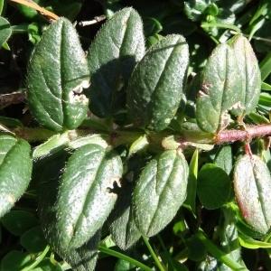 Photographie n°276512 du taxon Helianthemum nummularium var. grandiflorum (Scop.) B.Bock