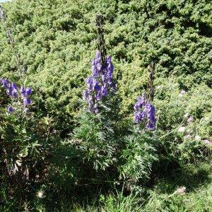 Photographie n°276617 du taxon Aconitum napellus subsp. vulgare (DC.) Rouy & Foucaud [1893]
