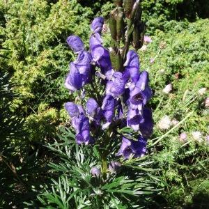 Photographie n°276618 du taxon Aconitum napellus subsp. vulgare (DC.) Rouy & Foucaud [1893]