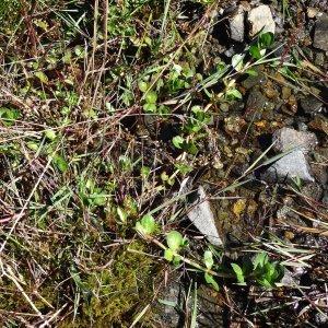 Photographie n°276649 du taxon Veronica beccabunga subsp. beccabunga