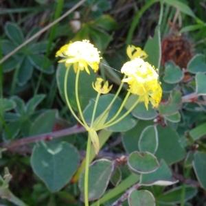 Photographie n°276664 du taxon Bupleurum ranunculoides subsp. ranunculoides