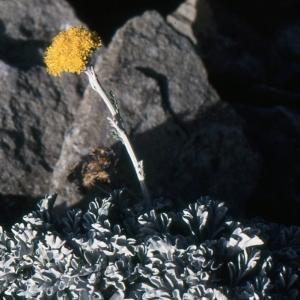 Photographie n°276914 du taxon Jacobaea leucophylla (DC.) Pelser