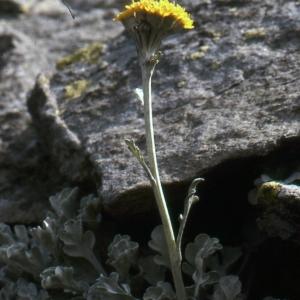 Photographie n°276916 du taxon Jacobaea leucophylla (DC.) Pelser