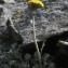 Liliane Roubaudi - Jacobaea leucophylla (DC.) Pelser [2006]