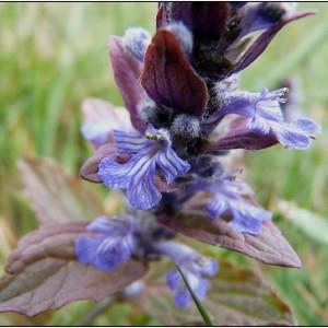 Ajuga vulgaris var. bifera Gillot (Bugle rampante)