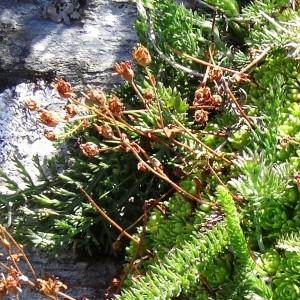 Photographie n°276997 du taxon Saxifraga praetermissa D.A.Webb