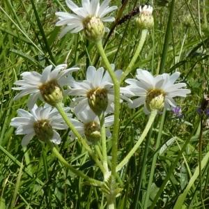 - Tanacetum corymbosum (L.) Sch.Bip. [1844]