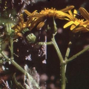 Photographie n°277362 du taxon Senecio squalidus L. [1753]