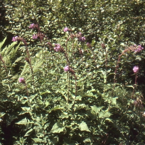 Photographie n°277398 du taxon Lactuca alpina (L.) Benth. & Hook.f. [1873]