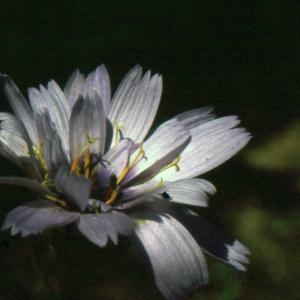 Photographie n°277402 du taxon Lactuca perennis L.