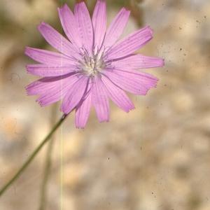 Photographie n°277404 du taxon Lactuca perennis L.