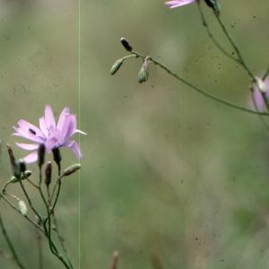Photographie n°277408 du taxon Lactuca perennis L.