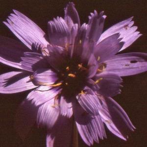 Photographie n°277438 du taxon Lactuca perennis L.