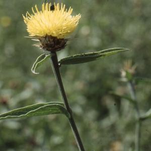 Photographie n°277573 du taxon Centaurea sicula L. [1753]