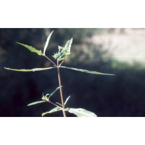 Eclipta prostrata (L.) L. (Éclipte blanche)