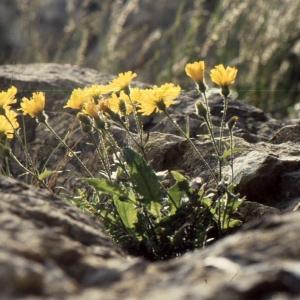 Hieracium humile Jacq. [1777] (Épervière humble)