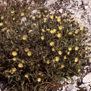 Photographie n°277589 du taxon Hieracium intybaceum All.
