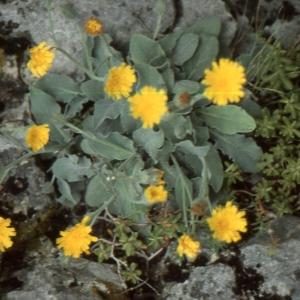 Photographie n°277599 du taxon Hieracium tomentosum L.