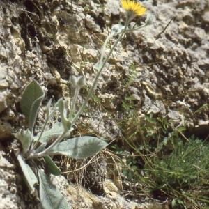Photographie n°277600 du taxon Hieracium tomentosum L. [1755]