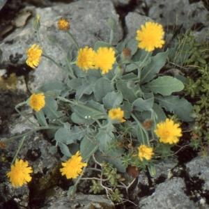 Photographie n°277601 du taxon Hieracium tomentosum L. [1755]