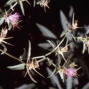 Photographie n°277604 du taxon Centaurea calcitrapa L. [1753]