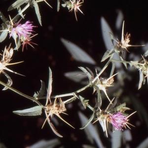 Photographie n°277605 du taxon Centaurea calcitrapa L. [1753]