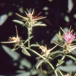 Photographie n°277606 du taxon Centaurea calcitrapa L. [1753]