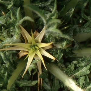 Photographie n°277610 du taxon Centaurea calcitrapa L. [1753]