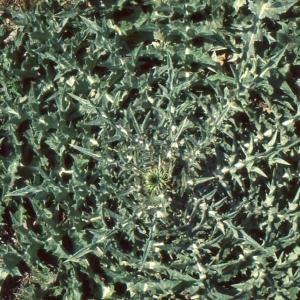Photographie n°277611 du taxon Centaurea calcitrapa L. [1753]