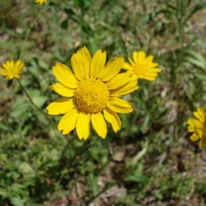 Photographie n°277622 du taxon Coleostephus myconis (L.) Cass. ex Rchb.f. [1854]