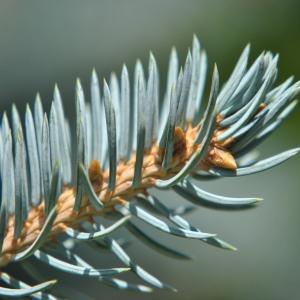 Photographie n°277744 du taxon Picea pungens Engelm. [1879]
