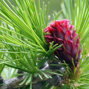 Photographie n°277767 du taxon Larix decidua subsp. decidua