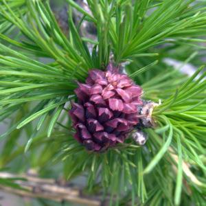 Photographie n°277768 du taxon Larix decidua subsp. decidua