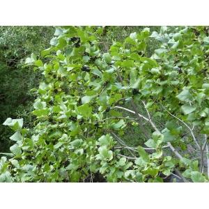 Rhamnus alpina L. subsp. alpina (Nerprun des Alpes)