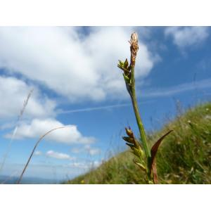 Carex vaginata Tausch (Laiche à feuilles engainantes)