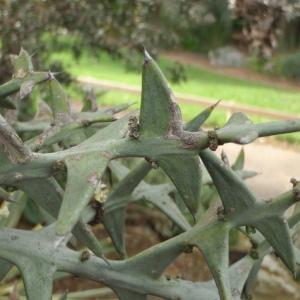 Photographie n°277913 du taxon Colletia cruciata Gillies & Hook. [1830]