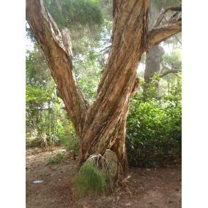 Melaleuca linariifolia Smith (Niaouli)