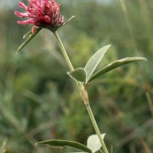 Photographie n°278003 du taxon Trifolium alpestre L. [1763]