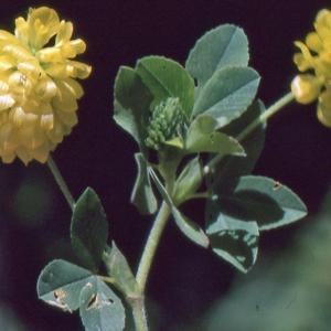 Photographie n°278005 du taxon Trifolium aureum Pollich [1777]