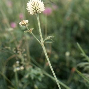 Photographie n°278013 du taxon Trifolium montanum L. [1753]