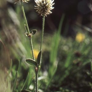 Photographie n°278014 du taxon Trifolium montanum L. [1753]