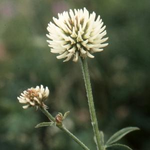 Photographie n°278015 du taxon Trifolium montanum L. [1753]